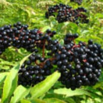 Alkaline Elderberry Syrup