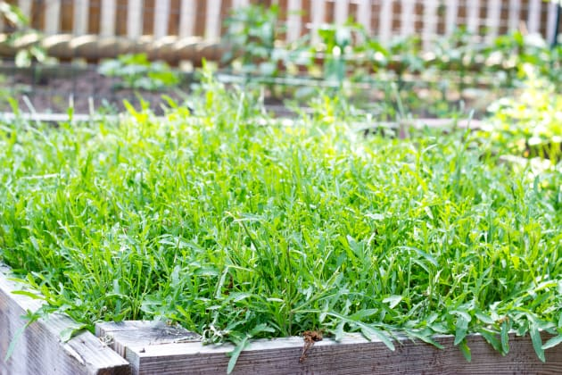 Bed of Arugula Photo